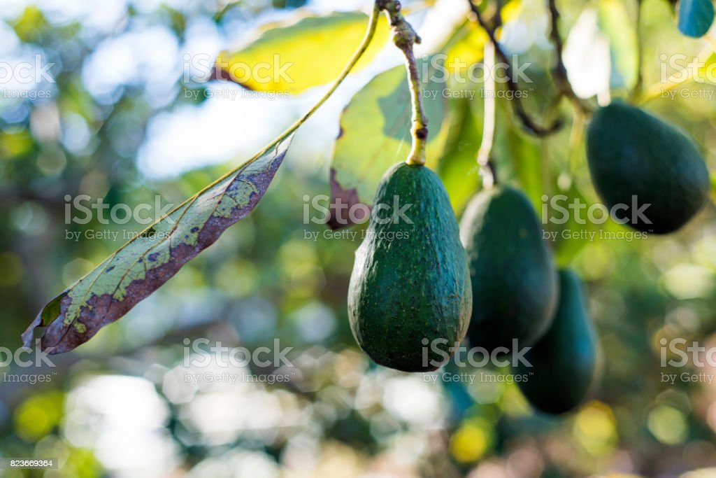 Avocado Tree stock photo