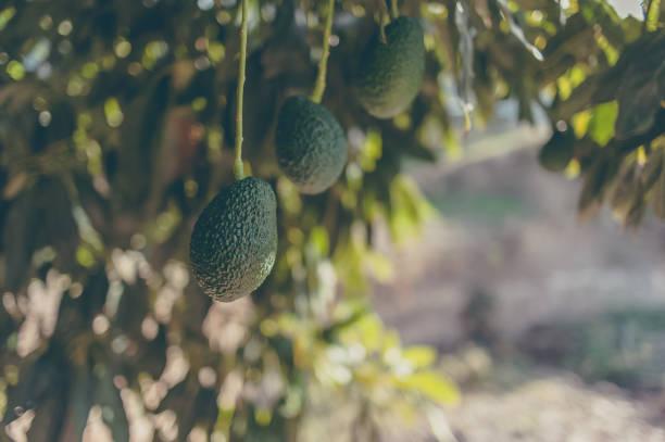 Avocado tree stock photo