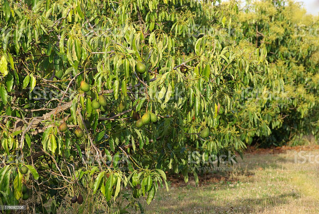 Avocado tree ready for harvest stock photo