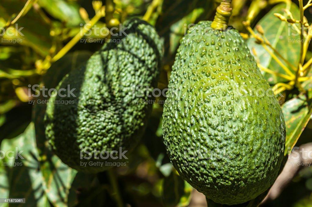 Avocados - close up stock photo