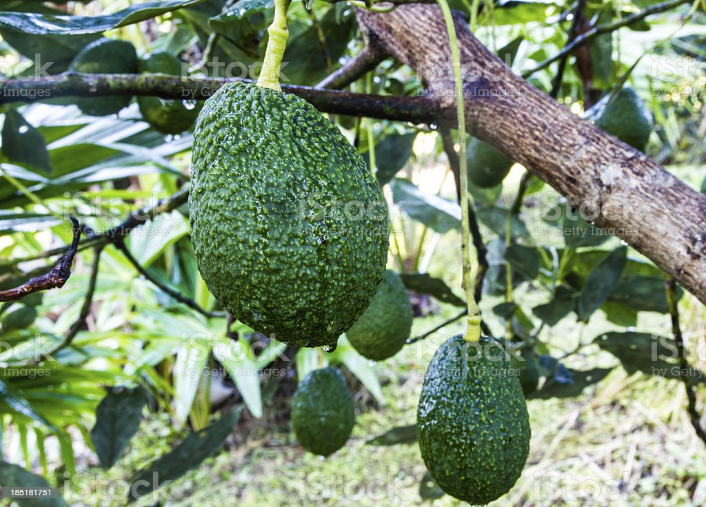 Avocados Growing on Tree stock photo