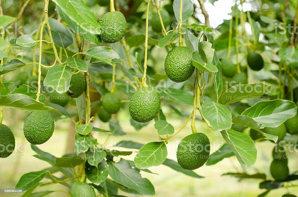Avocados Growing on Tree stock photo