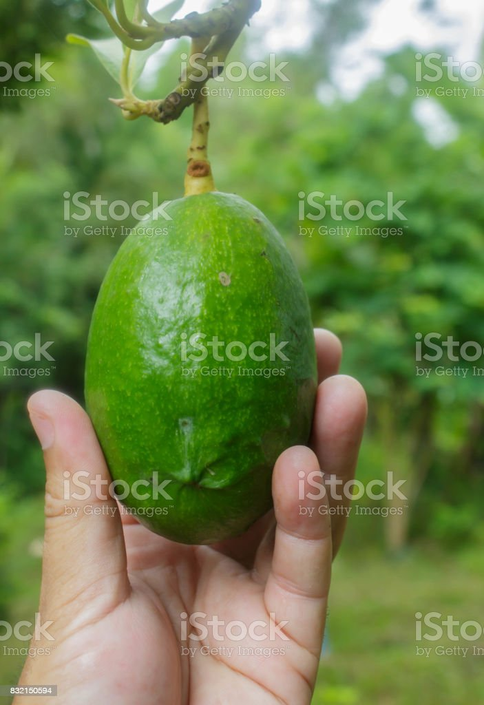 avocados on tree in garden stock photo