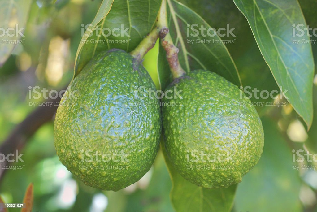 Avocados Ripening stock photo