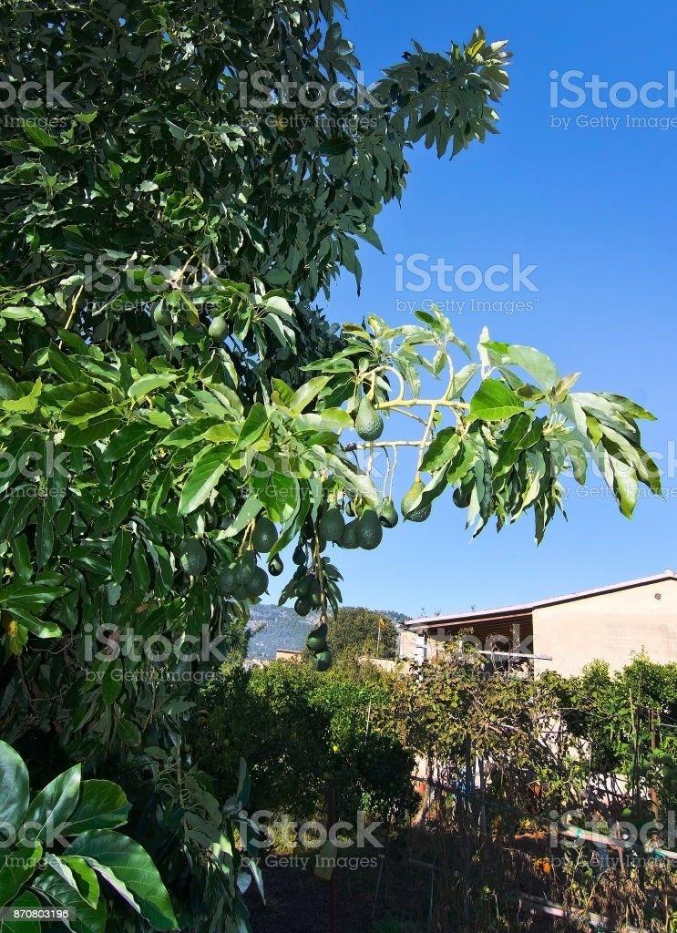 Avocados ripening stock photo
