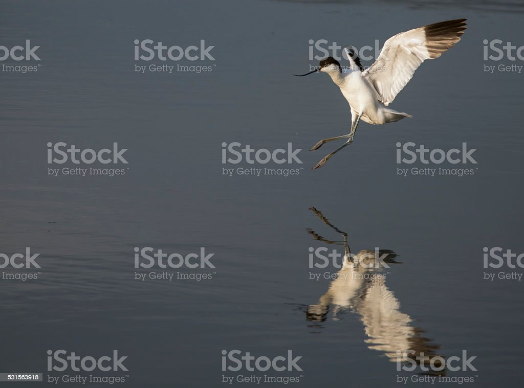 Avocet coming in for a landing stock photo