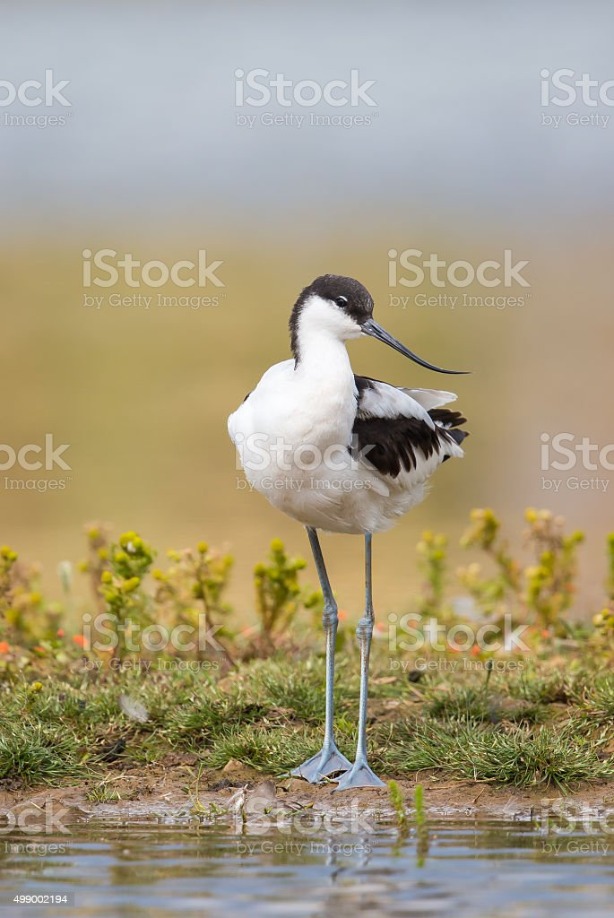 Avocet standing on a bank stock photo