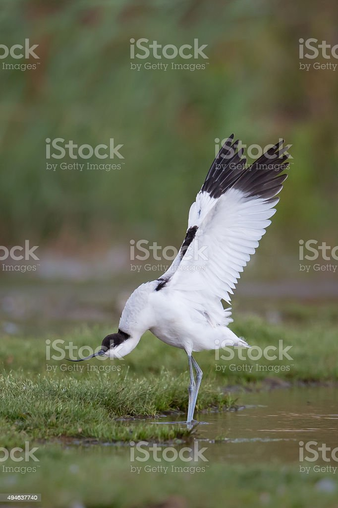 Avocet with stretched wings stock photo