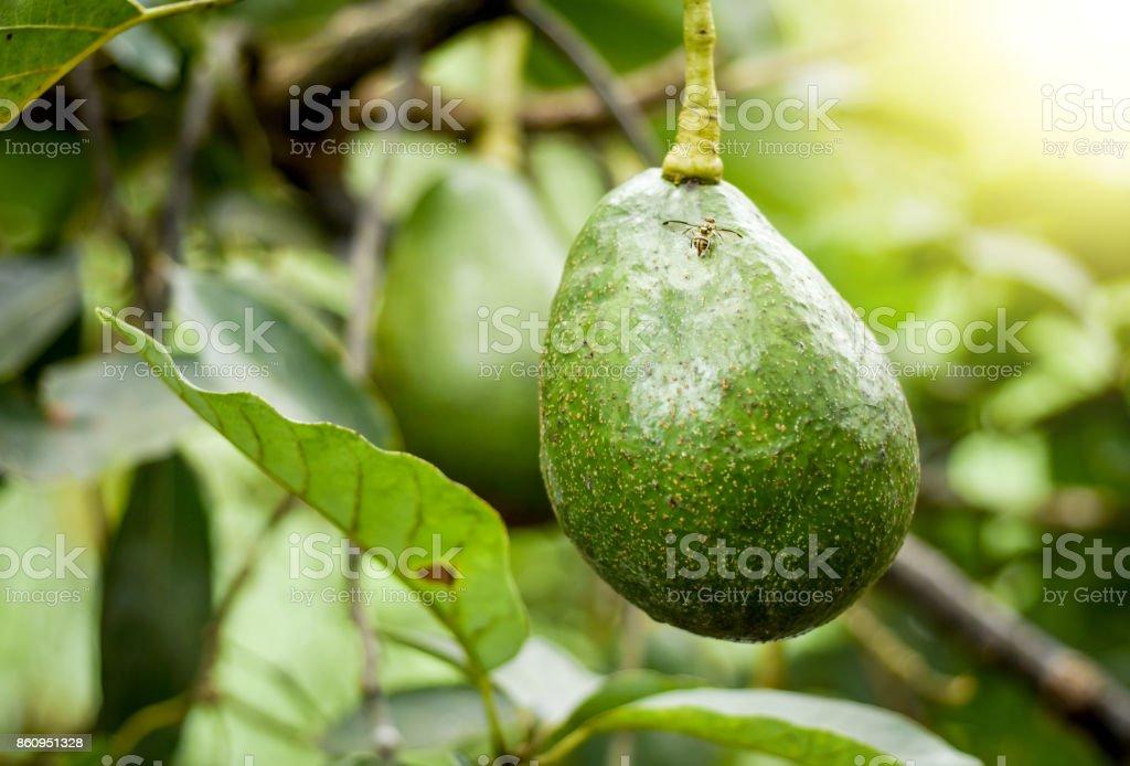Avogado tree and avogado fruits on the branches. stock photo