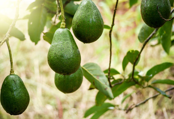 Avogado tree and avogado fruits on the branches. stock photo
