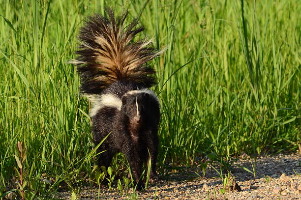 awareness - skunk stock photos and pictures