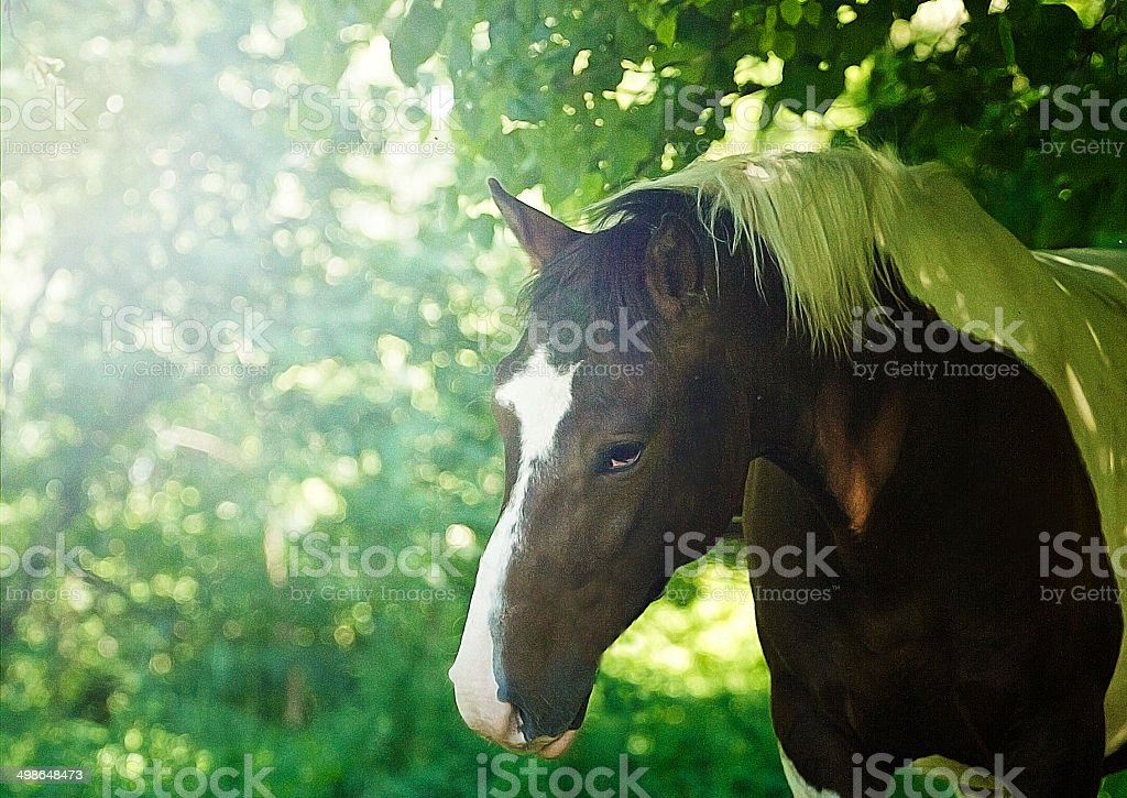Awesome And Beautiful Western Barock Pinto Horse Stock Photo Download Image Now Istock