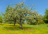 Beautiful enchanting spring meadow in an orchard. Tulips in various colours blossom between buttercup flowers and green grass under a fruit tree in full bloom. Awesome XXL high resolution image, 11000 x 7800 pixel.