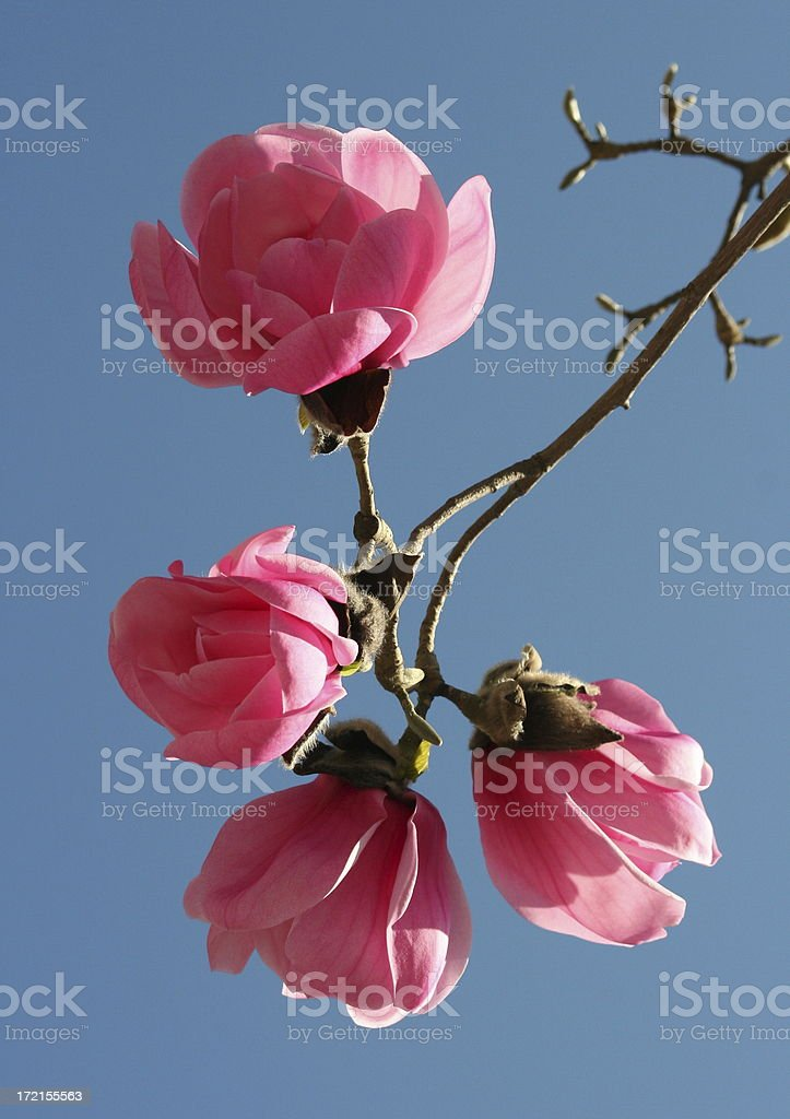 Awesome Magnolias royalty-free stock photo