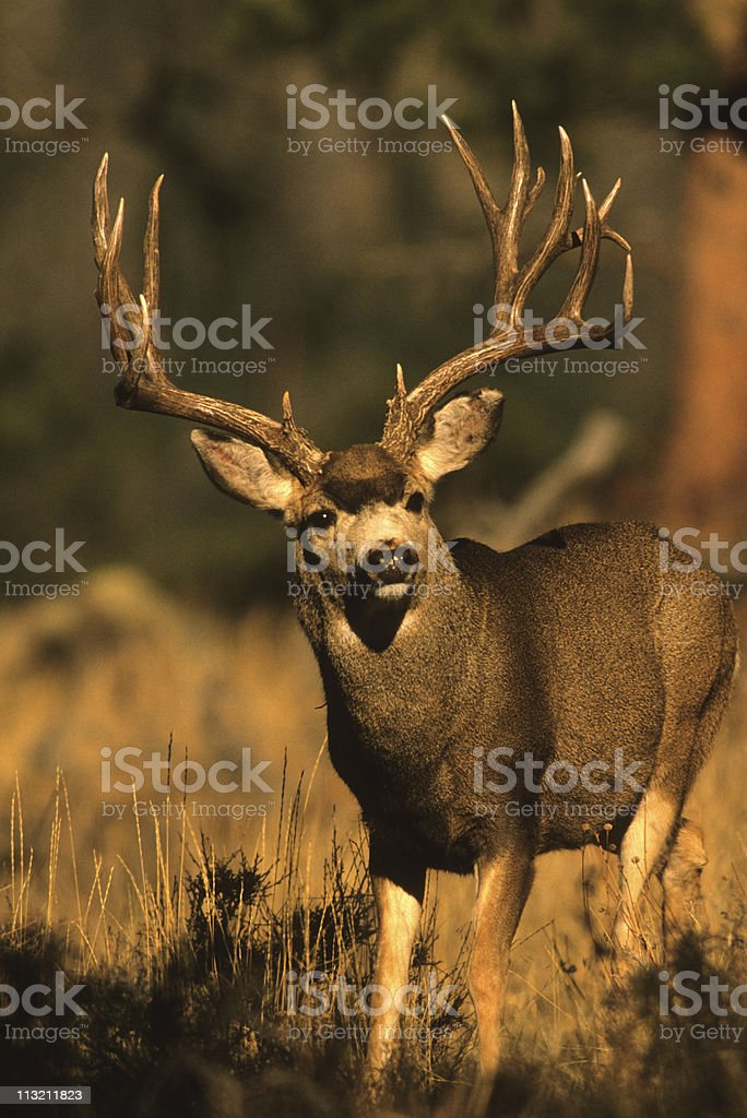 Awesome Mule Deer Buck royalty-free stock photo