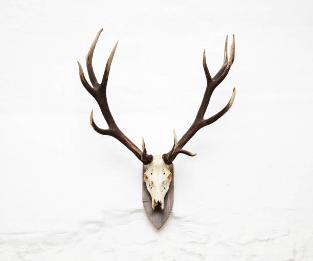 Awesome red deer hunting trophy stock photo