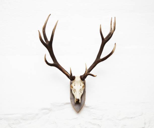 awesome rotwild jagdtrophäe - geweih stock-fotos und bilder