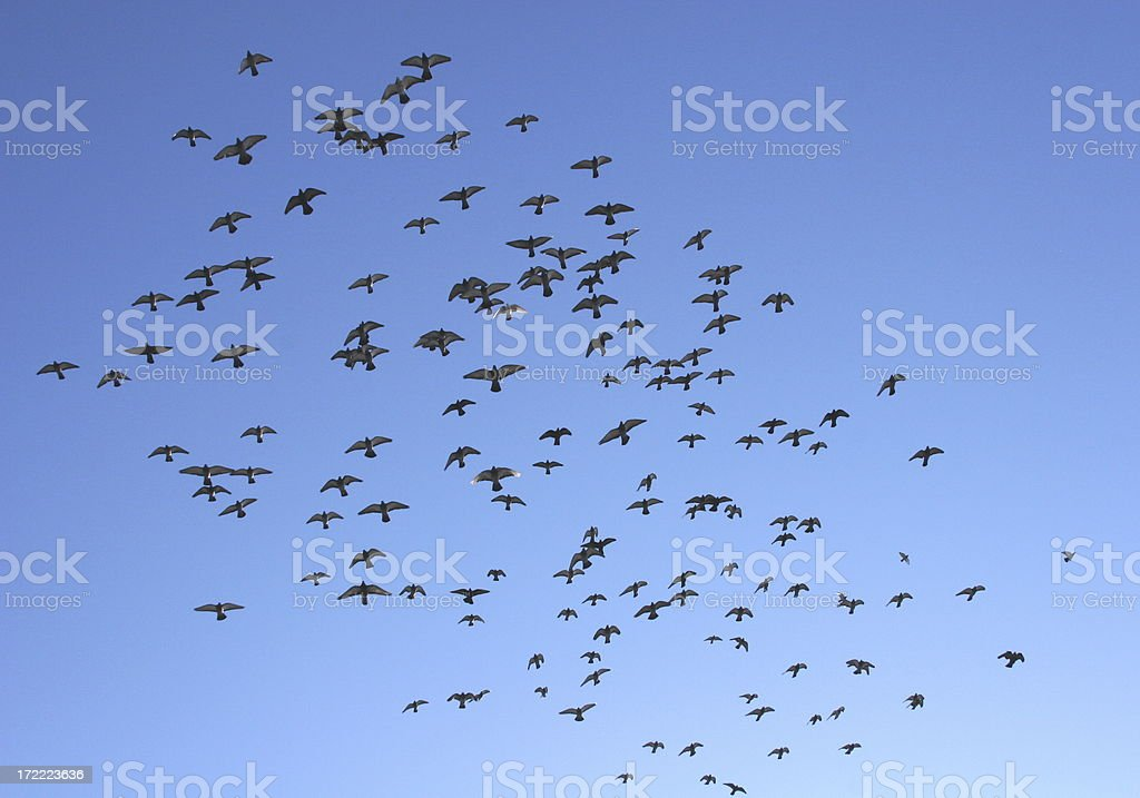 Awesome Sight: Birds Surging Upward royalty-free stock photo