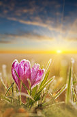 Awesome sunset with frozen crocus flower in frost. Spring flower in nature with soft light. Majestic view of  blooming spring flowers crocus in wildlife