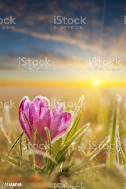 Awesome sunset with frozen crocus flower in frost spring flower in picture id1071839268?b=1&k=6&m=1071839268&s=612x612&h=xvaybv7onfsmwer9 iuf71jd9pbhyj7lw6kj3tsoryy=