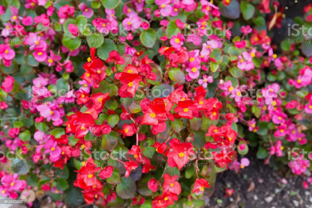 Ax begonia flower in pink red with yellow stamen blossoming in ax begonia flower in pink red with yellow stamen blossoming in garden royalty free stock mightylinksfo