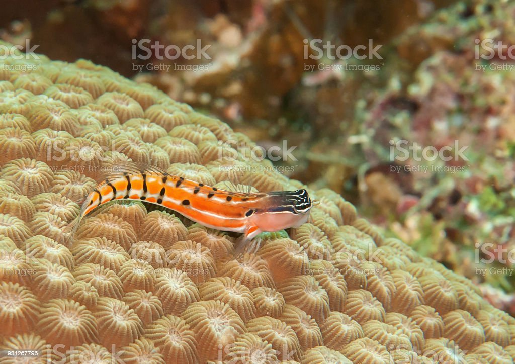 Axelrod's clown blenny  resting on coral reef of Bali stock photo