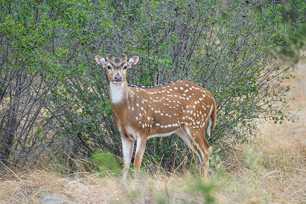 Axis Buck South Texas axis buck standing. This buck is just beginning his antler growth. axis deer stock pictures, royalty-free photos & images