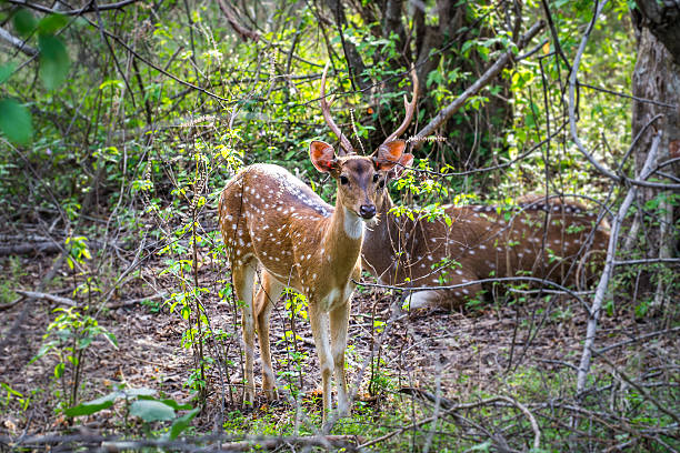 Axis ceylonese close-up Two Ceylon deer while on safari in the Yala National Park. yala stock pictures, royalty-free photos & images