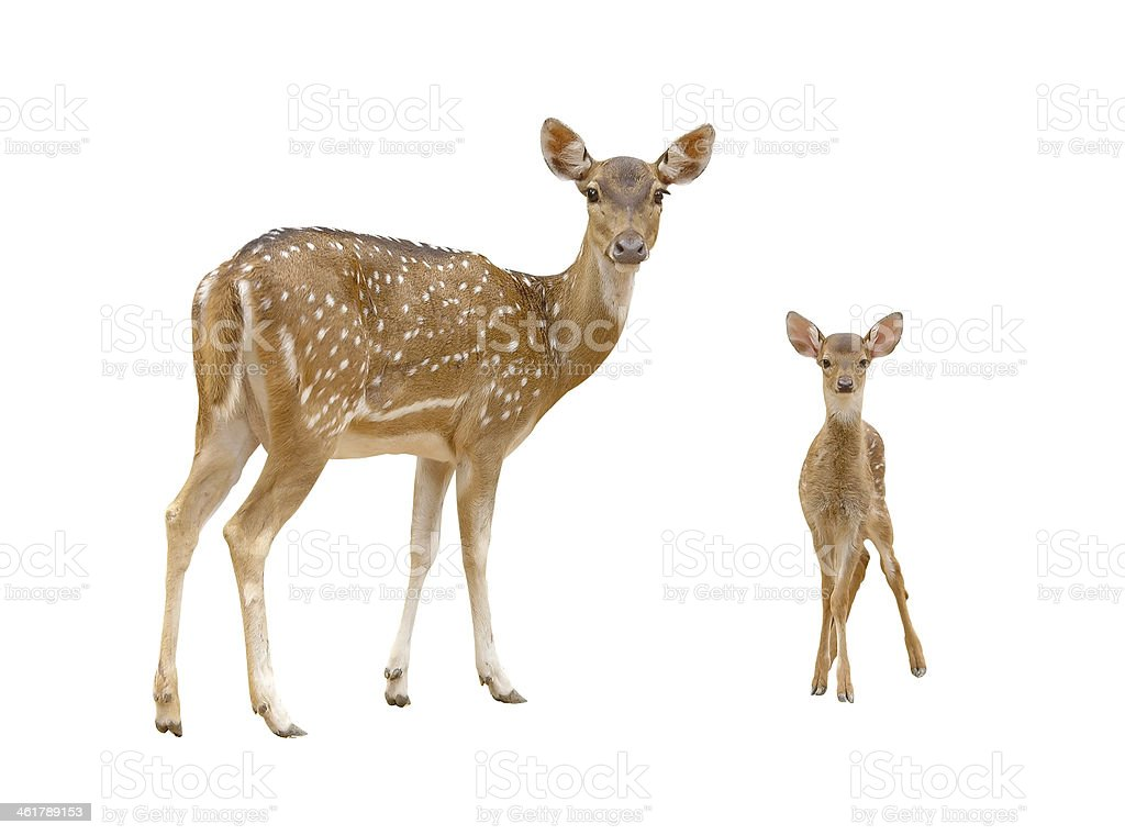 axis deer family with green grass isolated royalty-free stock photo