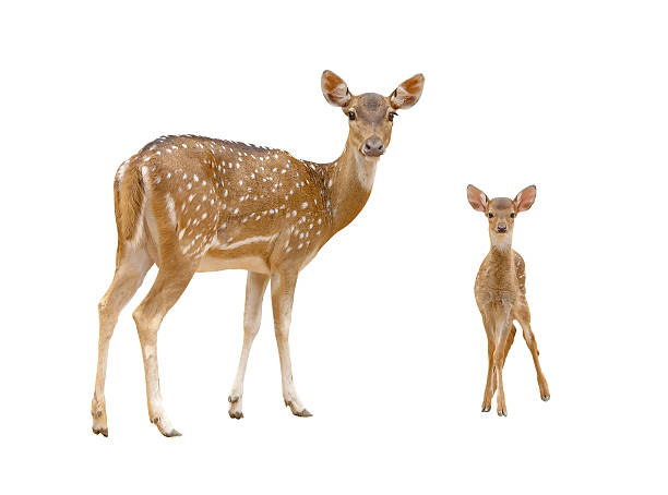 axis deer family with green grass isolated stock photo