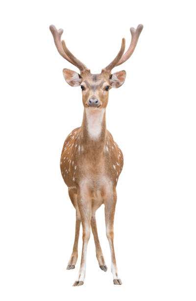 axis deer isolated axis deer or chital isolated on white background axis deer stock pictures, royalty-free photos & images
