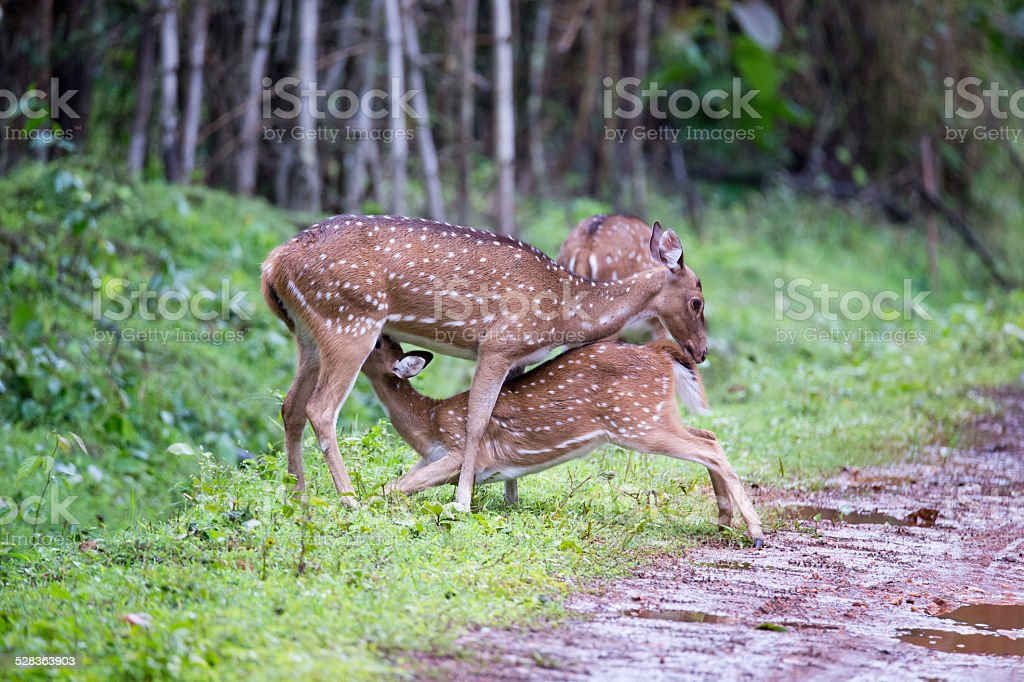 Axis Deer Nursing A Faun Stock Photo More Pictures Of Affectionate