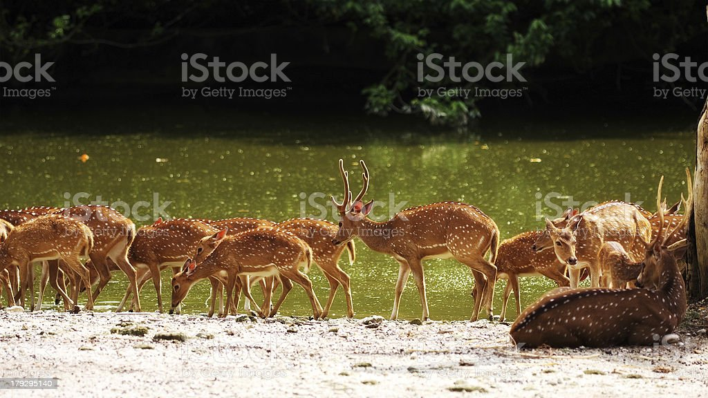 Axis Deer royalty-free stock photo
