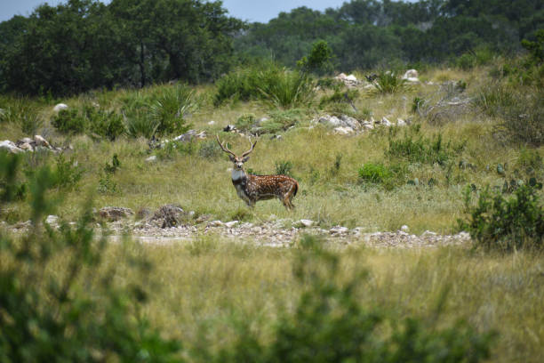 Axis Deer axis deer in the wild axis deer stock pictures, royalty-free photos & images
