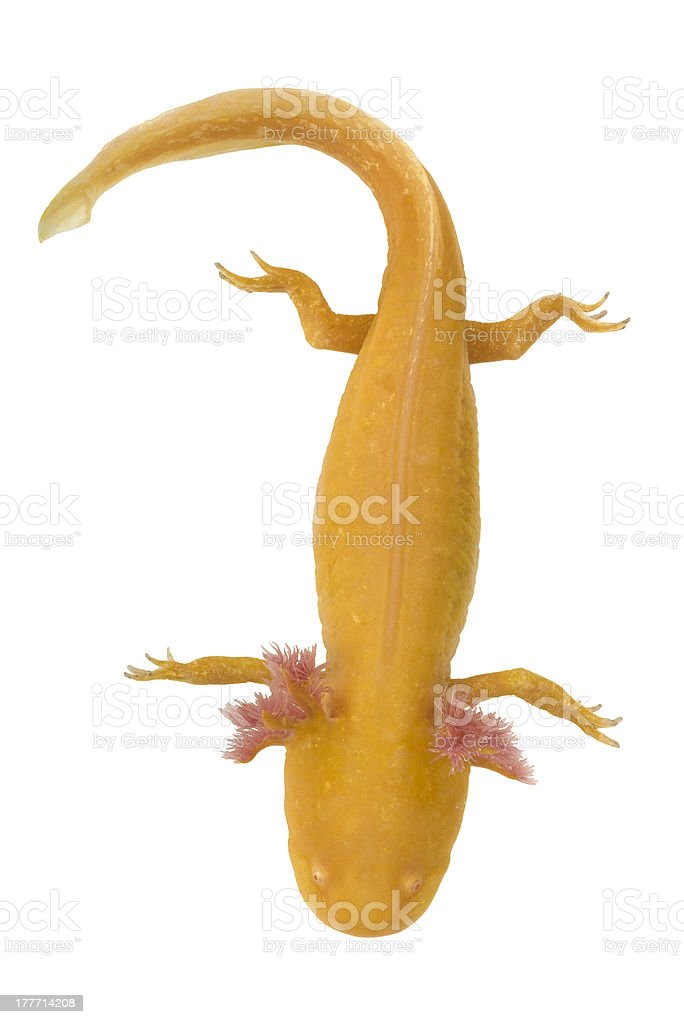 Axolotl, Ambystoma mexicanum, from above on a white background. stock photo