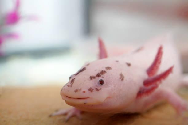 Axolotl-Kopfschuss – Foto