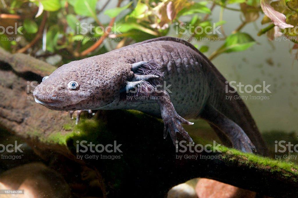 Axolotl in an aquarium royalty-free stock photo