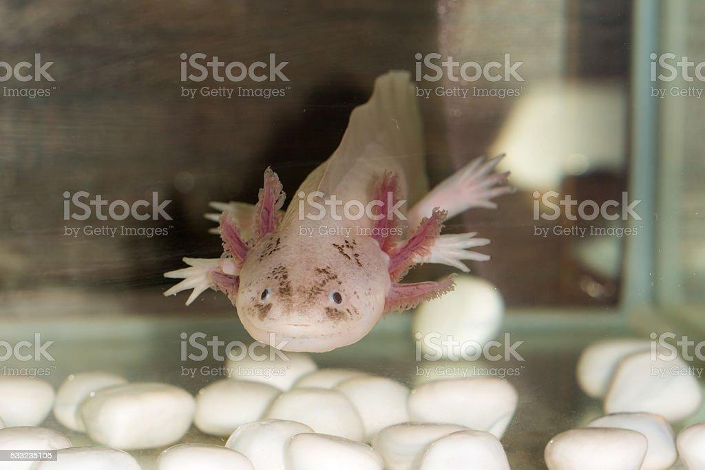 Axolote en el aquarium - foto de stock