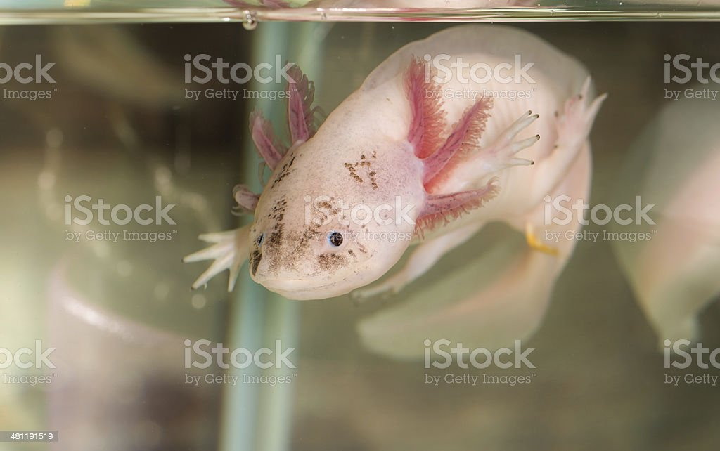 Axolote en agua - foto de stock