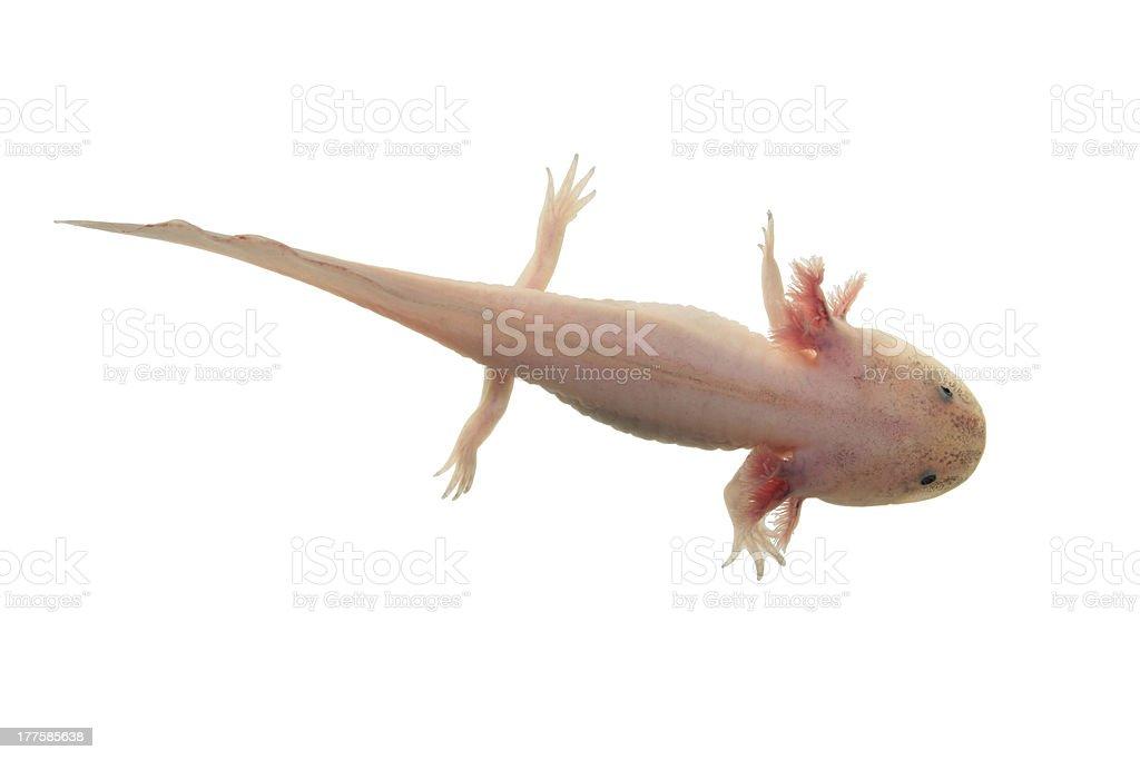 Axolote Aislado en blanco - foto de stock