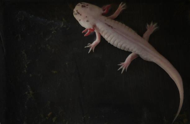 Axolotl – Foto
