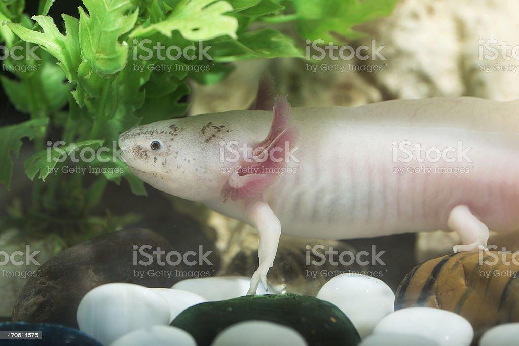 Axolote - foto de stock