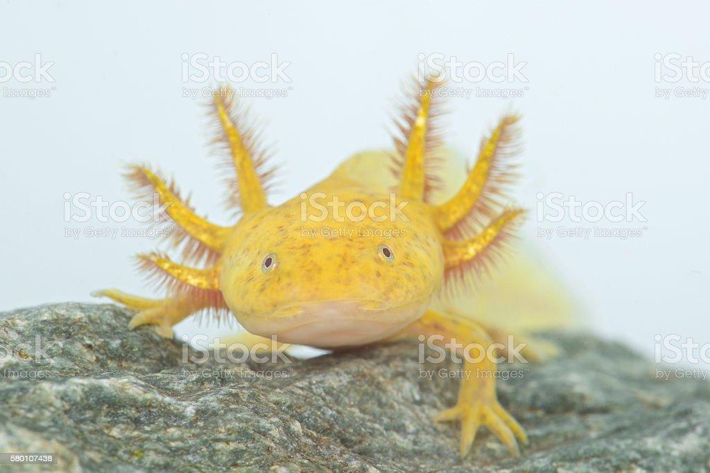 Axolote (Ambystoma mexicanum) - foto de stock
