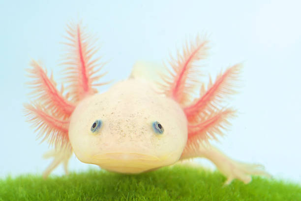 Axolotl (Ambystoma mexicanum) - Photo
