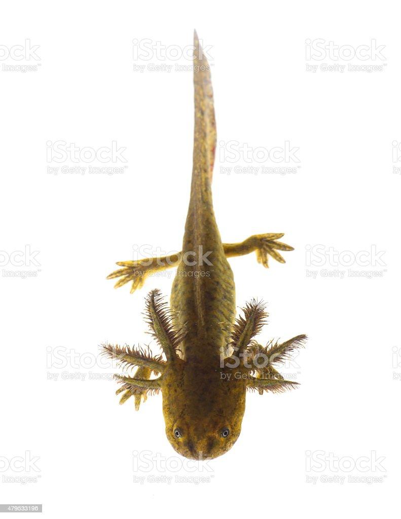 Axolotls son miembros del Ambystoma tigrinum (Tiger salamandra - foto de stock