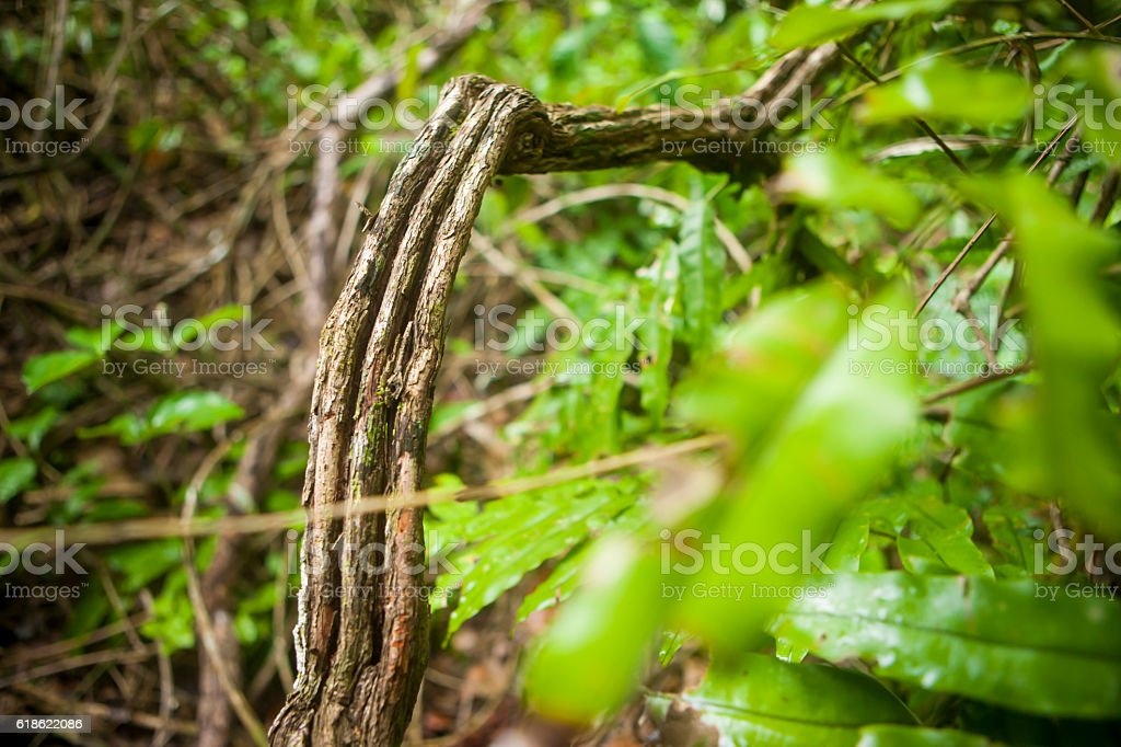 Ayahuasca, Madidi National Park, Bolivian Amazon stock photo