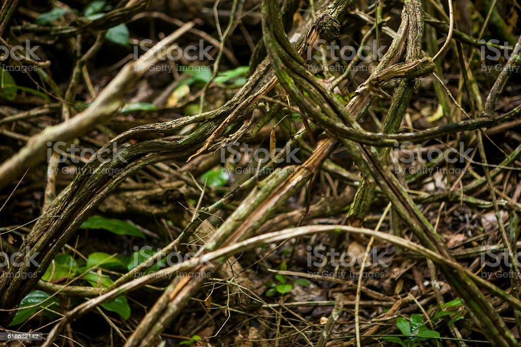 Ayahuasca, Madidi National Park, Bolivian Amazon stock photo