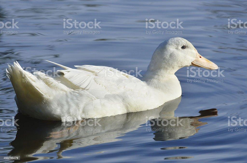 Aylesbury duck swimming stock photo