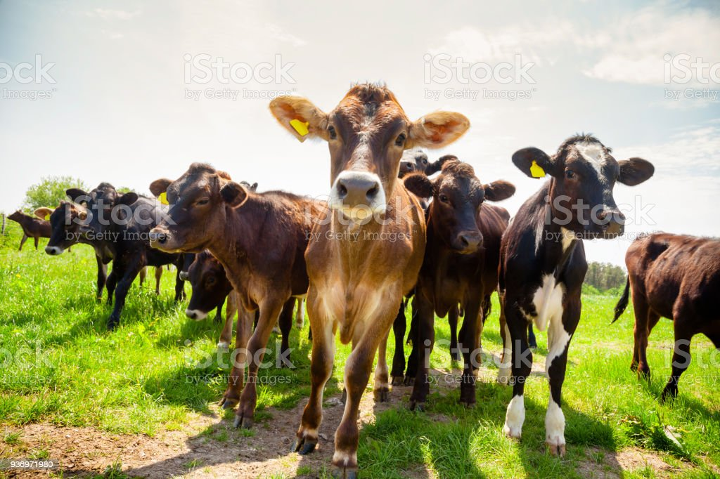 Ayreshire cattle at pasture in Southern England UK stock photo