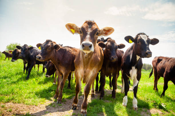 ayreshire cattle at pasture in southern england uk - cow stock photos and pictures